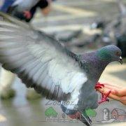 Кавминводские головатые щекатые – красивые и дикие иранские голуби 256