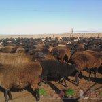 Стадо эдильбаевских овец