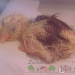 Вылупившийся цыпленок фото