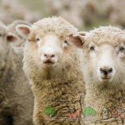 Породы и разведение овец в Беларуси в домашних условиях: описание с фото и видео
