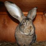 Гигантский Фландр в крольчатнике