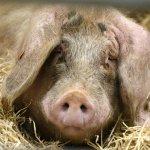 Зараженная аскаридами свинья