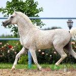 Конь серый типа кохейлан
