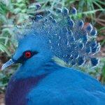 Аспидно-синий веероносный голубь