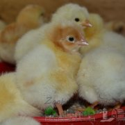 Какой брудер и инкубатор для цыплят лучше выбрать