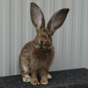 Обзор породы кроликов Белый великан (кроль с красными глазами): разведение и содержание в домашних условиях