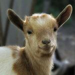 Красивая мордочка мини-козы