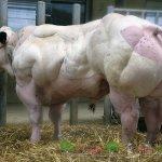 Бельгийская голубая корова крупным планом