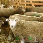 Куйбышевские овцы в загоне