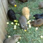 Болотные бобры едят яблоки