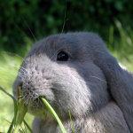 Кролик жует травку