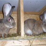 Два кролика на откормку через перегородку