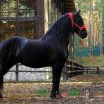 Черный фризский жеребец