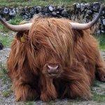 Шотландский бык лежит на земле