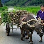 Молодой бык перевозит груз