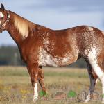 Лошадь типа сабино-оверо