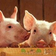Канадская технология выращивания свиней: обзор и видео