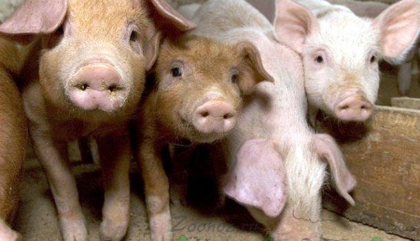 Блог о свиньях и кабанах - все самое интересное и полезное