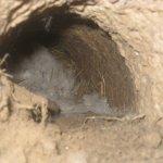Гнездо окролившейся самки