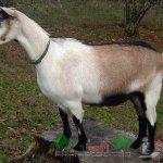 Коза окраса - Белая шея