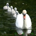 Птенцы и самка лебедя шипуна