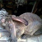 Кролик с узелковой формой заболевания