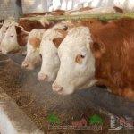 Симментальские коровы на откорме