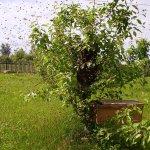 Роение пчел на дереве