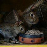 Крольчиха Ризен и крольчонок в клетке