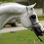 Щучий профиль арабского коня