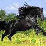 Черная лошадь резвится в поле