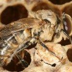 Самец пчелы на сотах