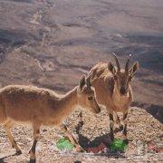 Отважные покорители скал — горные козлы 972