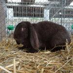 Мейсенская крольчиха на выставке