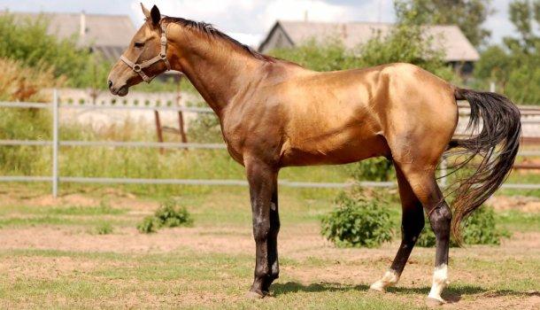 Легенды Карачая — лошади Кавказских гор