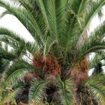 Пышная финиковая пальма