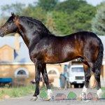 Олене-гнедой упряжный конь