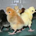 Цыплята хохлатой породы