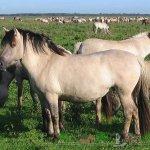 Лошади светло-мышастого оттенка
