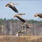 Стая гусей летит над лесом