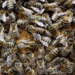 Карпатские пчелы в рое