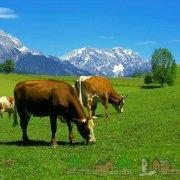 Породы коров мясного направления: их описание и фото