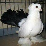 Новочеркасский чернохвостый голубь