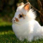 Ангорский кролик на природе