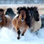 Табун северных лошадей