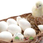 Почему куры едят свои яйца: причины и методы решения