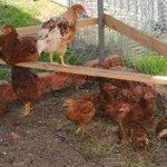 Цыплята на выгуле в летнем загоне