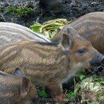 Маленькие свинки породы Мангалица