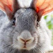 Что делать, если кролик чихает: как лечить насморк и почему появляются белые выделения из носа (сопли)