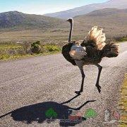 Какой страус в метрах самый высокий в мире: обзор и фото